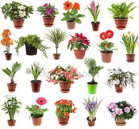 Горшечное растение-настоящий подарок для цветовода