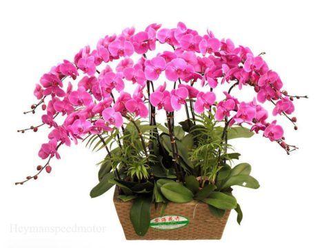 Орхидея в горшочке.