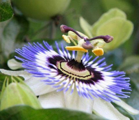 Араукалия чилийская