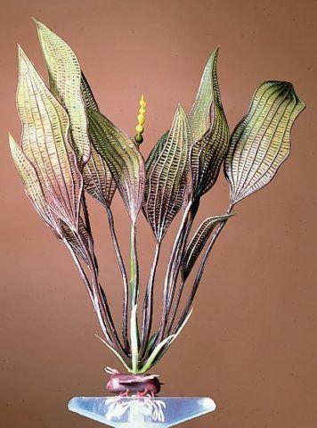 Перламутровое растение
