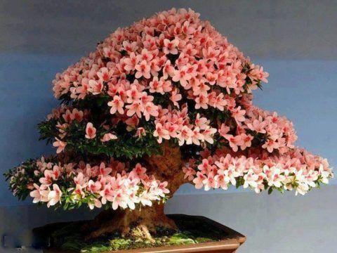 Подарок свадебный, цветущий бонсай.