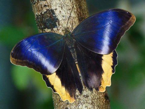 Бабочка Калиго Атрей