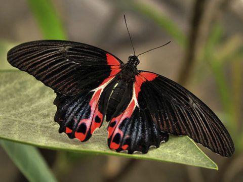 Бабочка Парусник Румянцева