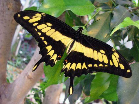 Бабочка Парусник Тоас