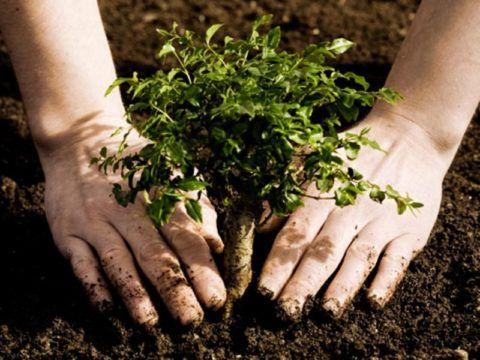 Сажаем дерево