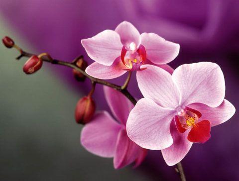 Мало какой цветок сравнится в красоте с орхидеей.